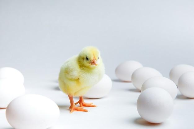 黄色のひよこと白い背景の上の鶏の卵