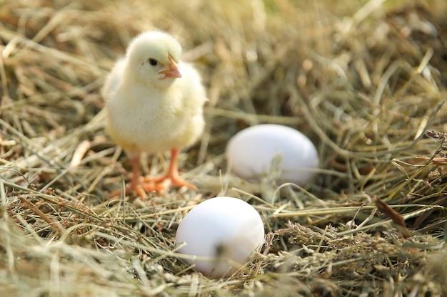干し草の黄色いひよこと卵