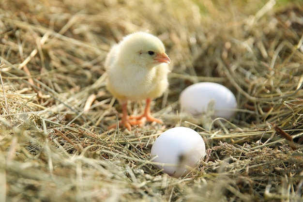 Yellow chick and eggs in hay