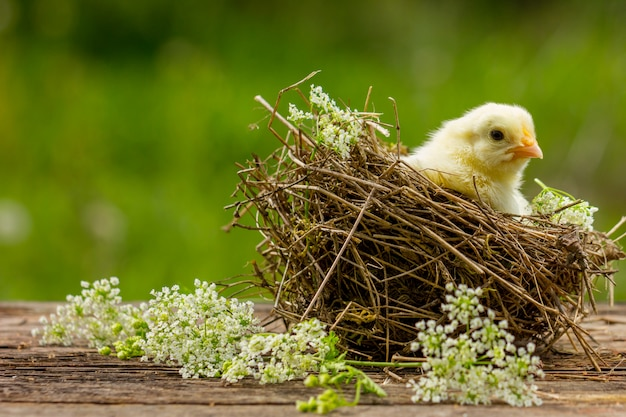 Yellow chick in a nest on a natural background.