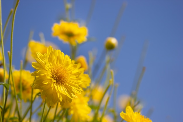 Yellow chrysanthemum field in the blue sky background at organic farm.