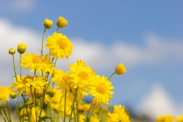 Yellow chrysanthemum field in the white clouds and blue sky background.
