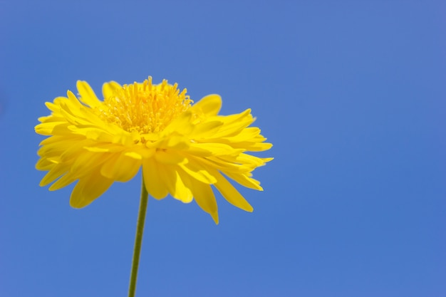Yellow chrysanthemum flower in the blue background of the sky.