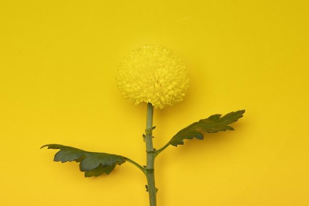 노란 벽에 고립 된 노란 국화 꽃
