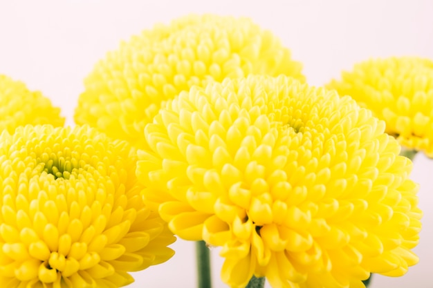 Yellow chrysanthemum flower isolated over white background