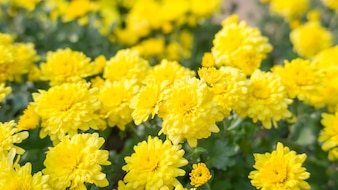Yellow Chrysanthemum flowers in a garden.