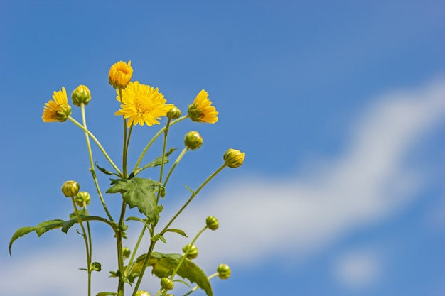 Yellow chrysanthemum in the white clouds and blue sky background.