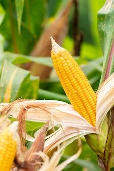 フィールド上のスイートコーンの黄色い穂軸。トウモロコシの収穫を集める