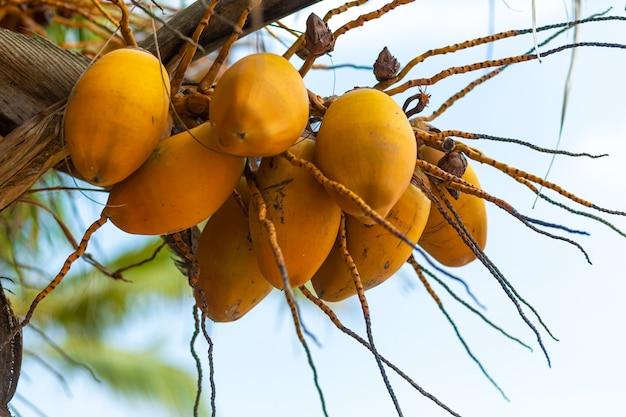 Желтые кокосовые орехи на пальме.