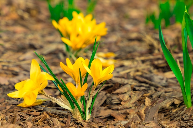 Yellow color crocuses on tree bark background