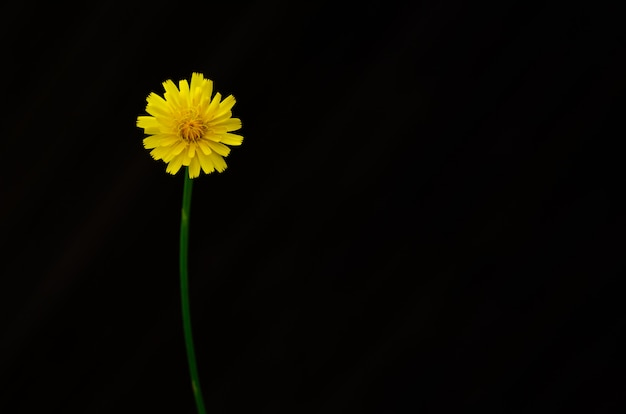 Yellow color of dandelion flower isolated on dark background with space for text.