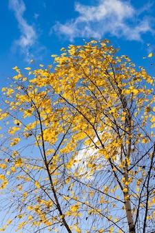 白樺の葉の黄色