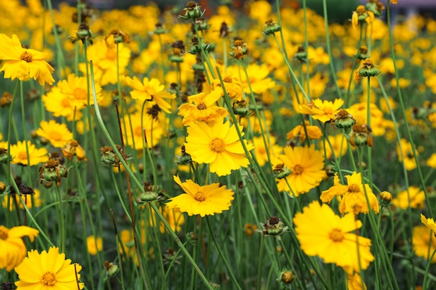 Yellow colored flower blooms like chamomile growing in garden