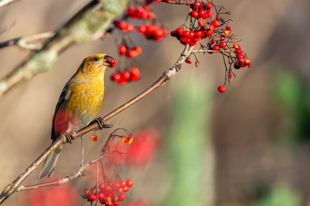 Желтая птица обыкновенного клеста ест ягоды красной рябины, сидя на дереве