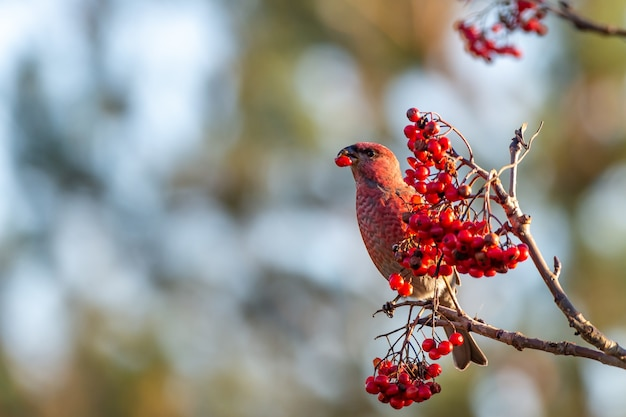 Yellow common crossbill bird eating red rowan berries perched on a tree