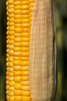 Початки желтой кукурузы закрытые одним прозрачным листом на стебле, конец лета, рассада