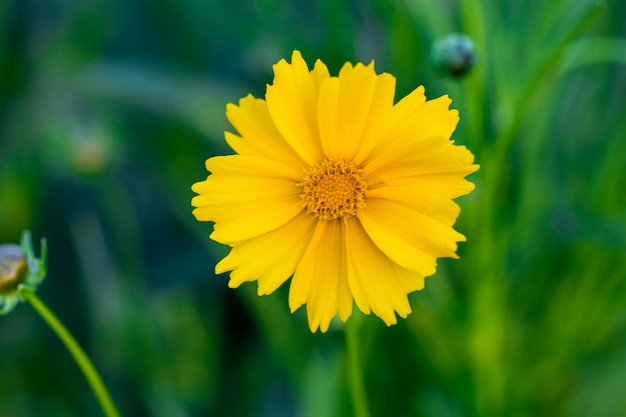 Yellow cosmos flower blooming in the field. sulfur cosmos with green garden
