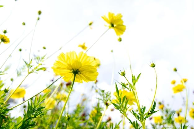 庭に咲く黄色いコスモスの花