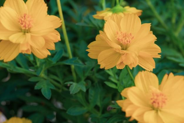 Желтый цветок космоса в зеленом фоне природы.