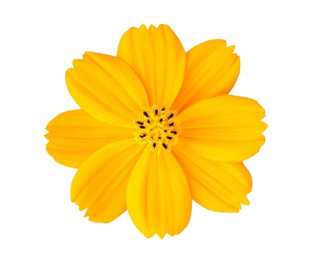 클리핑 패스와 흰색 배경에 고립 된 노란색 코스모스 꽃.