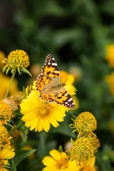 Желтые цветы космоса и бабочка