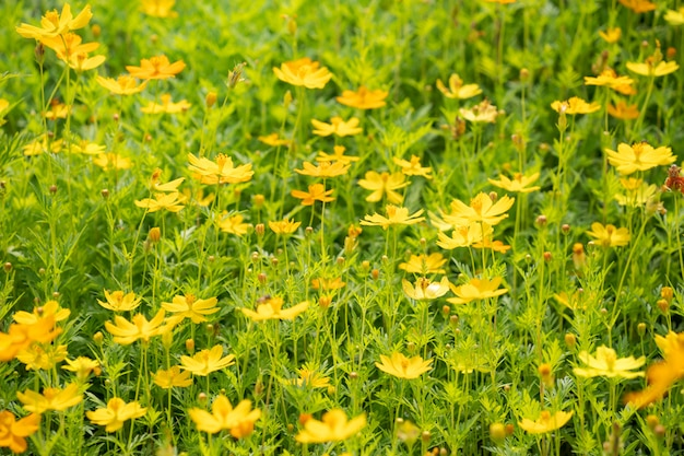 Yellow cosmos flowers background