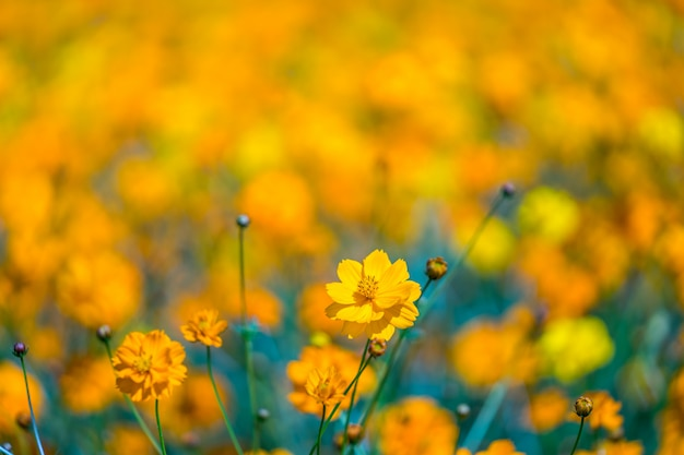 Yellow cosmos flowers blooming in the garden.