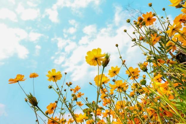 青い空、自然の背景とドアの外の黄色のコスモスの花フィールド。