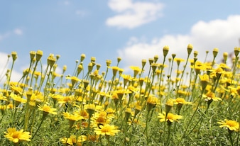 Yellow cosmos flowers with light blue background