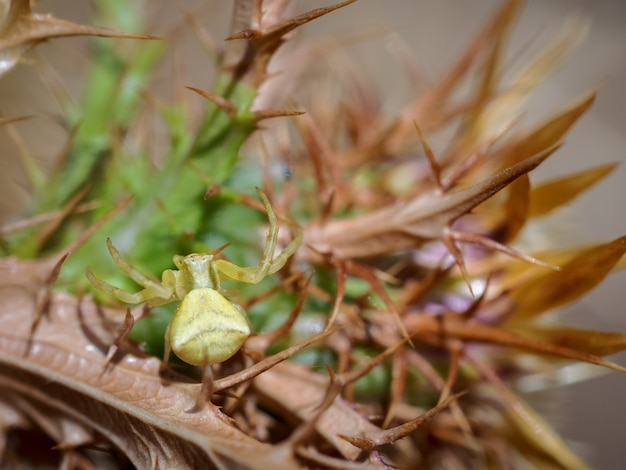 Yellow crab spider in its natural environment.