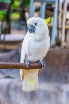 Yellow-crested cockatoo in the park