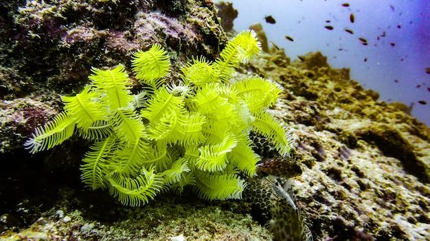 モルディブのサンゴ礁、モルディブで成長している黄色のウミユリ(またはウミユリ)。