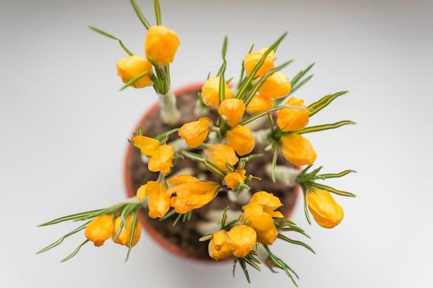 창틀에 플라스틱 냄비에 노란 크 로커 스입니다. 봄의 꽃, 원예