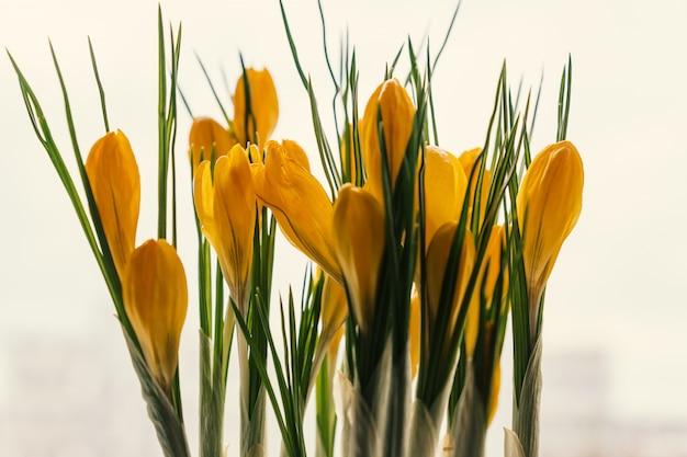 Yellow crocuses in plastic pot on window sill. spring flowers, domestic gardening