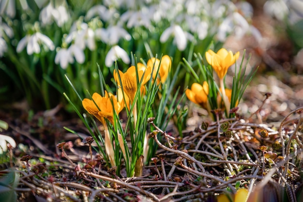 Yellow crocuses and white snowdrops, springtime
