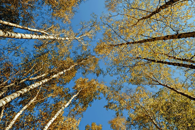Yellow crown of birch in the fall against the blue sky