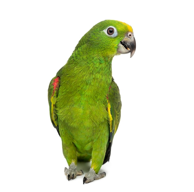 Yellow-crowned amazon, amazona ochrocephala, in front of a white surface