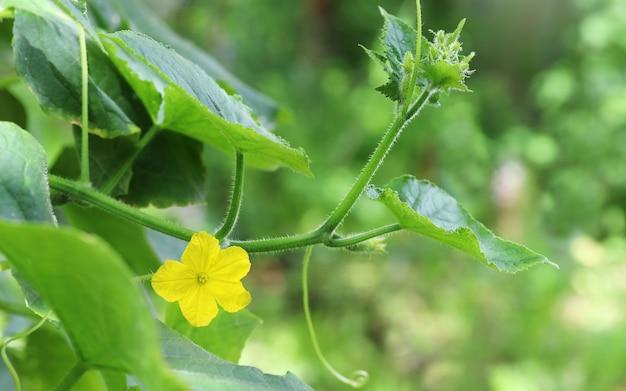 Желтый цветок огурца на зеленой ветке с листьями крупным планом