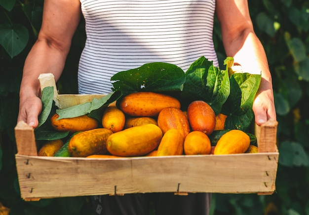 Yellow cucumbers in a wooden crate