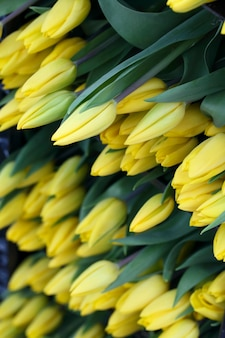 Yellow cut tulips close up background
