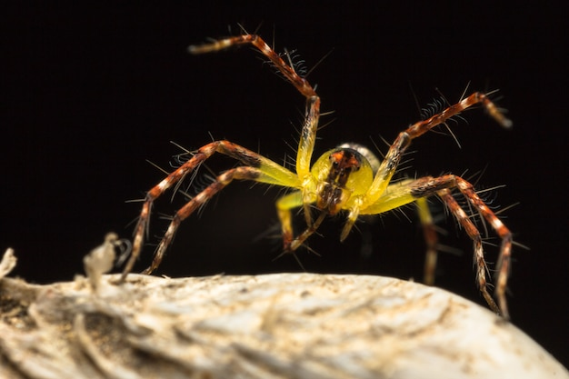Yellow cute spider (hamataliwa spider) on dry leaf
