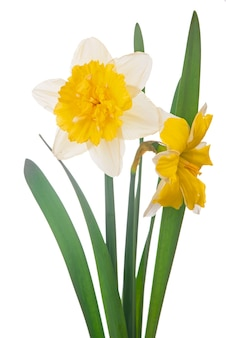 Yellow daffodil bouquet isolated on a white background.