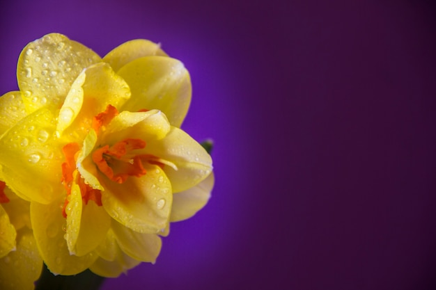 Yellow daffodil on a purple background. spring flowers. yellow daffodil on a purple background. spring flowers.