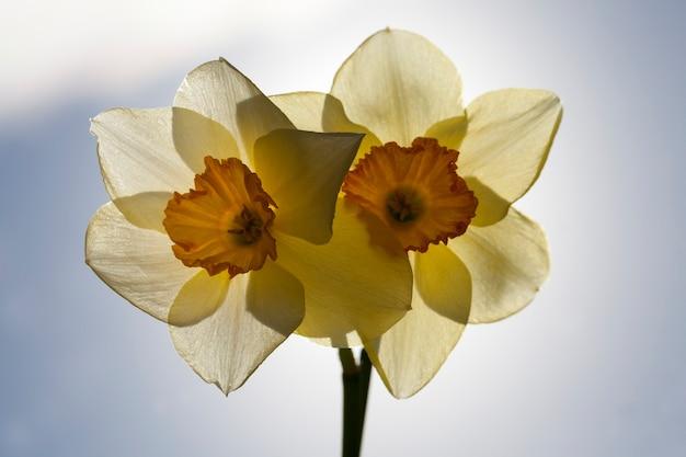 Yellow daffodil in the spring season