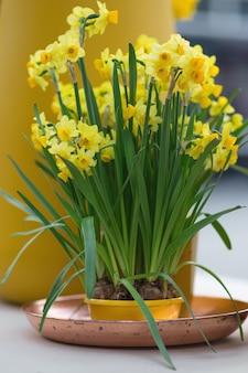 꽃 냄비에 jonquils 및 narcissus라고도 알려진 노란 수선화