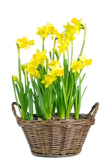 Yellow daffodils in a basket on a white isolated wall