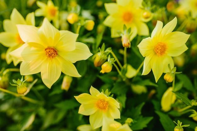 Yellow daffodils close-up