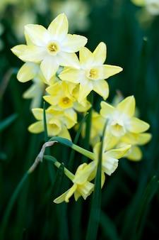 フィールド上の黄色い水仙の花