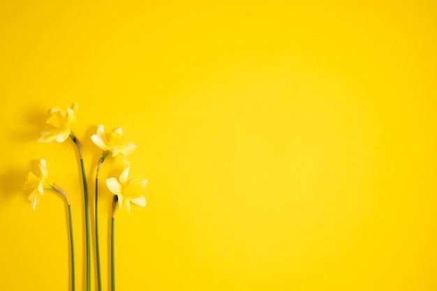 Желтые цветы нарциссов на желтом плоском виде сверху