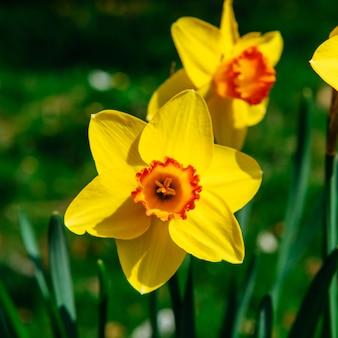 オランダの庭園で黄色い水仙。ボケライト効果、